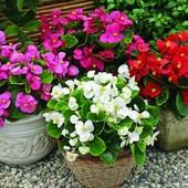 Бегония вечноцветущая, смесь цветов до 2023. Можно в доме, можно на улице