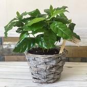 Кофейное дерево, 5 штук семян до 2024 года