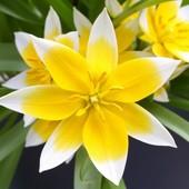 Собирайте лоты!! Дикий тюльпан Дасистемон Тарда батанический.В лоте 3 луковицы.