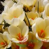 Крокус ботанический Cream Beauty. Цвет - кремовый. Крупные луковицы!!В лоте 1 луковица крокуса.