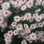 Хризантема, укорененный черенок