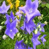 Платикодон крупноцветковый, цвет на выбор, 50 семян, до 2024 года.!