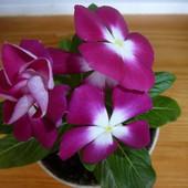 Комнатный барвинок или катарантус. Семена смесь цветов