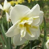 Собирайте лоты!! Садим нарцисы!!Крупноцветковый орхидейный нарцисс Лемон Бьюти- цветок в цветке..