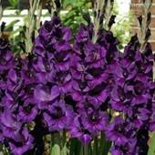 Собирайте лоты!! Крупноцветковый гладиолус - Purple Flora.
