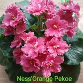 Фиалка Ness'Orange Pecoe