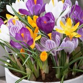 Голанские крокусы великаны микс цветов.Парад весенних цветов.