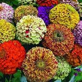 Цинния Меланж. Смесь. Разноцветные махровые цветы с полосками и точками.