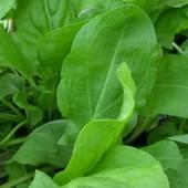 Широколистный щавель .Сорт раннеспелый, высокоурожайный, зимостойкий.Многолетний!!В лоте 1 пачка сем