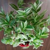 """Традесканция """"Белоцветковая""""! Продаваемое растение (фото 2) уже растет!!!"""