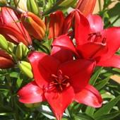 1 луковица Лилии Original Love (Настоящая Любовь) это очень яркая с лёгким ароматом лилия.