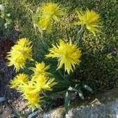 Собирайте лоты!! Нарцисс Rip Van Winkle - яркое солнышко .