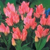 Собирайте лоты!Тюльпан Toronto относится к группе тюльпаны Грейга класс Букетный.Лкуовицы 12+