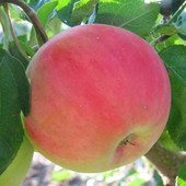 "Яблоня ""Безгуда"",до 245-350г вес плода, не высокорослая осенняя яблоня ,отличная корневая,"