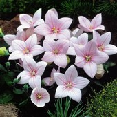 Платикодон крупноцветковый, цвет на выбор, 50 семян, до 2024 года. Сеем весной, летом или осенью!
