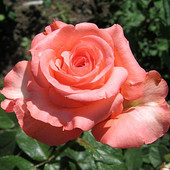 Роза чайно-гибридная Нобилис-1 саженец