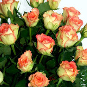 Роза чайно-гибридная Дуэт