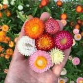 Гелихризум смесь расцветок семена