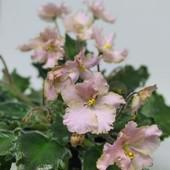 Rob's Sarspariila - вкорінені листочки