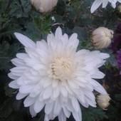 """Хризантема корейская белая """"Эверест""""!!! Куст выкапываю перед отправкой!!! Фото мои."""