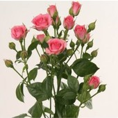 Роза спрей (мини) Грация - 1 саженец
