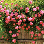 Pink Beauty плетистая