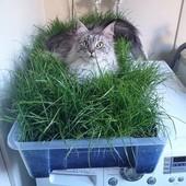 Зелень для кошек - витамины и микроэлементы для Вашей кошки!!! 10 грамм!! До 2026.