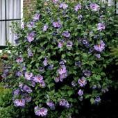 Гибискус сирийский , смесь 5 цветов - идеальное решение живой изгороди. Готовимся к новому сезону