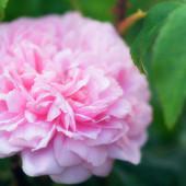 Пион розовый корневище