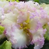 РС-Золотая Розкошь - вкорінений листочок