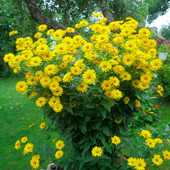 Гелиопсис шероховатый(клубни цветов)
