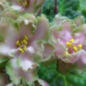 Укорененный листик фиалки. Сорт Малахитовая роза.