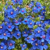 Анагаллис крупноцветковый. Для клумб, альпийских горок, балконов, контейнеров на и корзин
