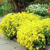 Алиссум скальный, насыщенно желтый. Многолетник!!! До 2025