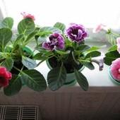Глоксиния. Лот 1 цветок с крупной бульбопочкой
