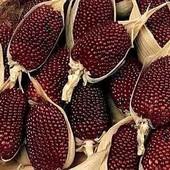 Кукуруза поп-корн, в лоте 2 сорта - Zea mays Strawberry (клубничный поп-корн) и Пинг-понг