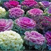 Капуста декоративная смесь цветов 50+ семян
