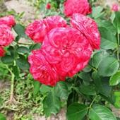 Роза плетистая сорт Компешн - лот 1 шт. саженец