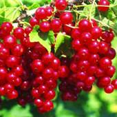 Саженец крупноплодной Красной смородины Натали(К-во ограничено).
