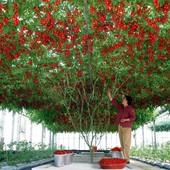 Дерево-помидор Спрут F1.В лоте семена -20 штук.