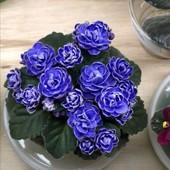 """Фиалка """"Зимняя роза"""". Продаётся хорошая взрослая фиалка на фото2 будет цвести"""