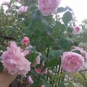 Чайная роза ! В лоте саженец. Фото мои.