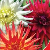 Семена георгины Эвелина кактусовидная. Самая красивая в букетах.
