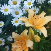 "Крупноцветковая Ромашка садовая ""Аляска"""