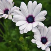 Семена цветов Диморфотека Полярная Звезда, 0.2 г